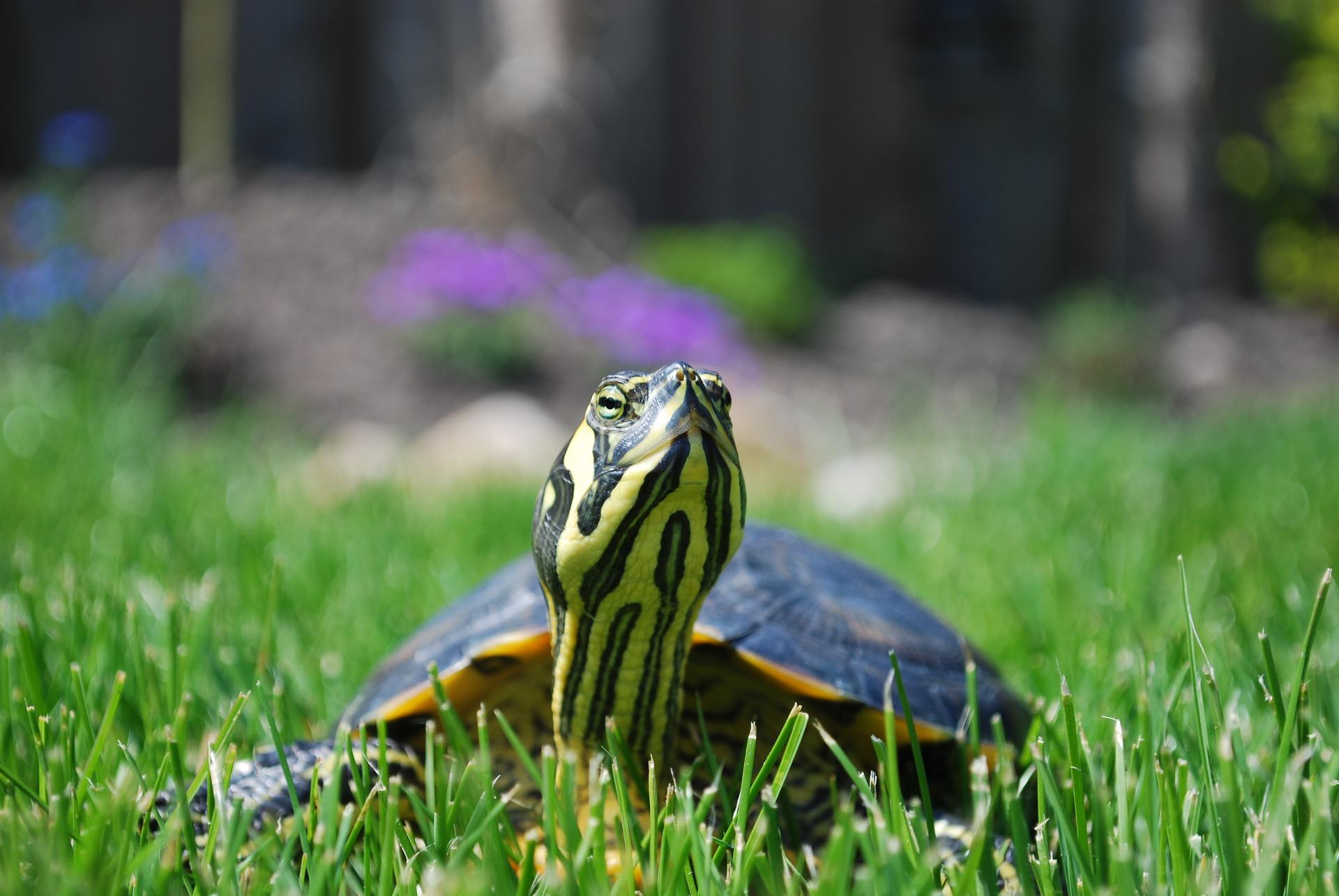 Želva v zahradě