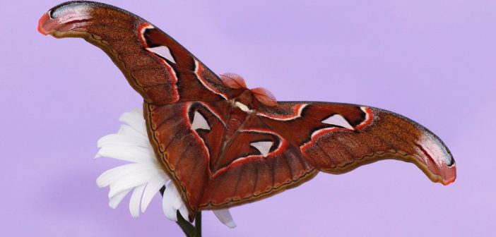 Motýl Attacus atlas