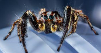 Malý skákající pavouk