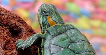 Mládě želvy nádherné