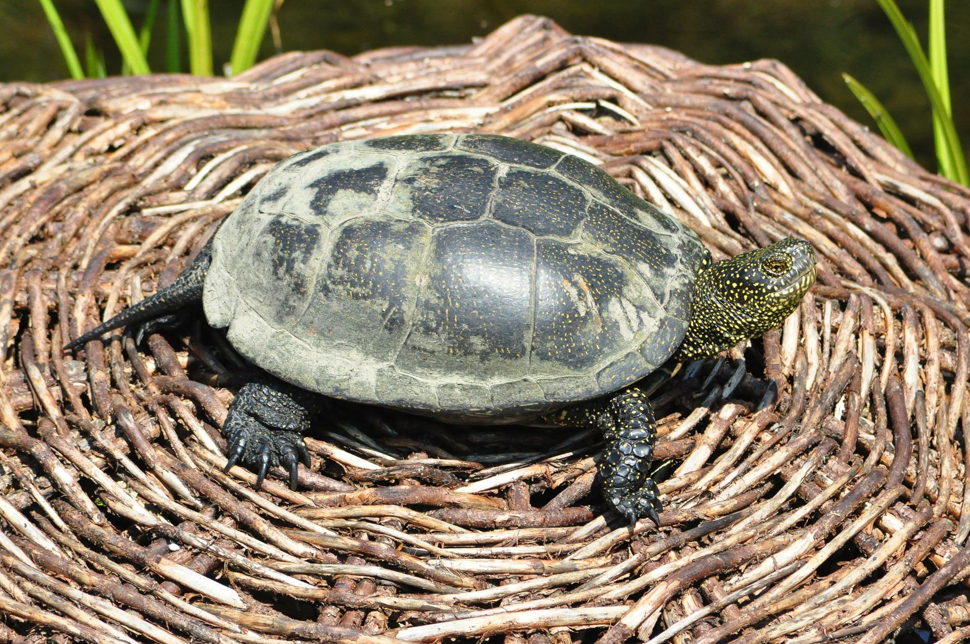Želva - ušpiněná