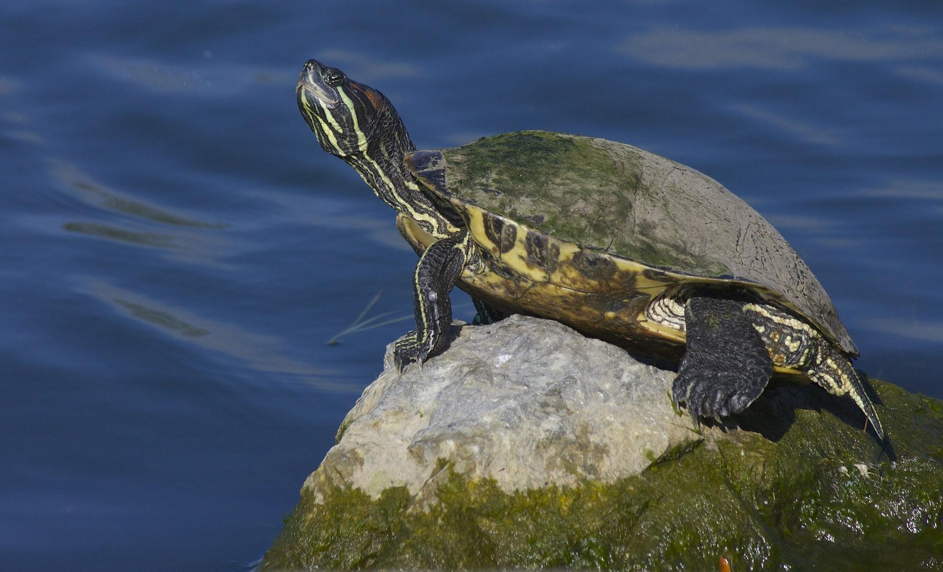 Želva zanesená řasou
